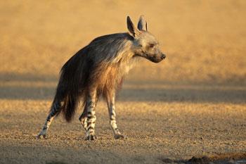 Brown-Hyena350